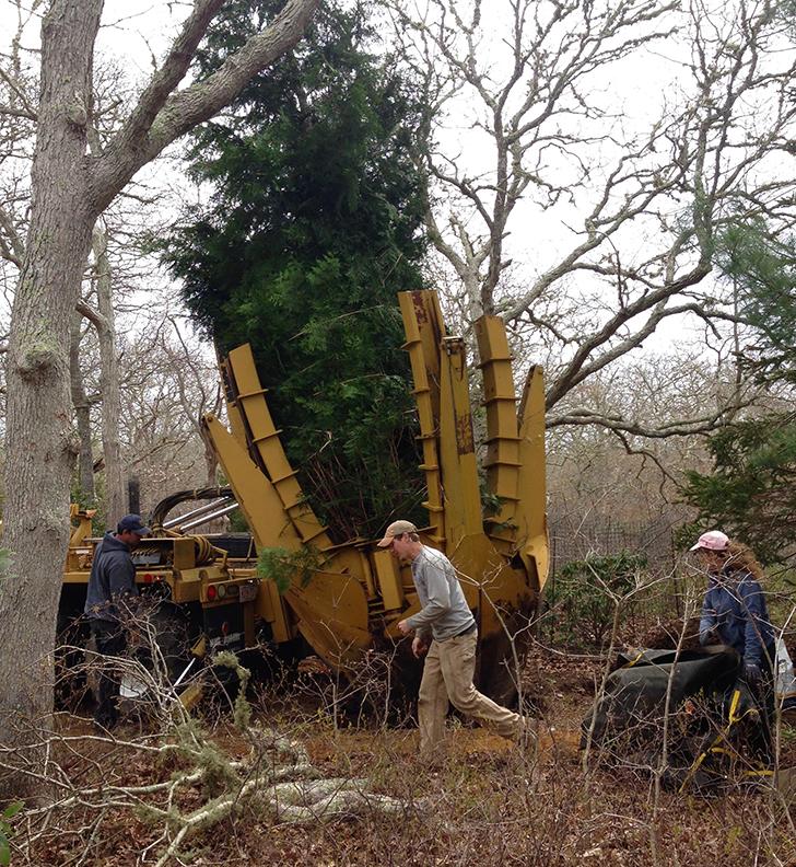 Transplanting giant Arborvitae