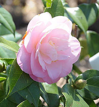 "Camellia japonica ""April Remembered"""