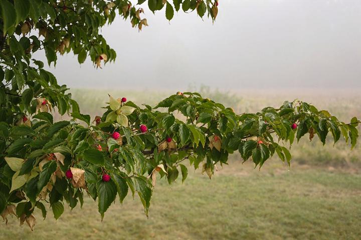 Cornus kousa fruit at Polly Hill Arboretum