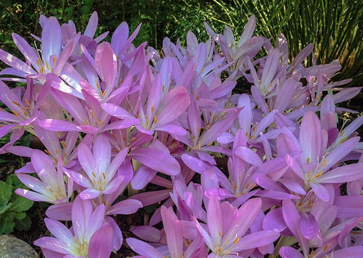 """Autumn Crocus (Colchicum """"Waterlily"""")"""