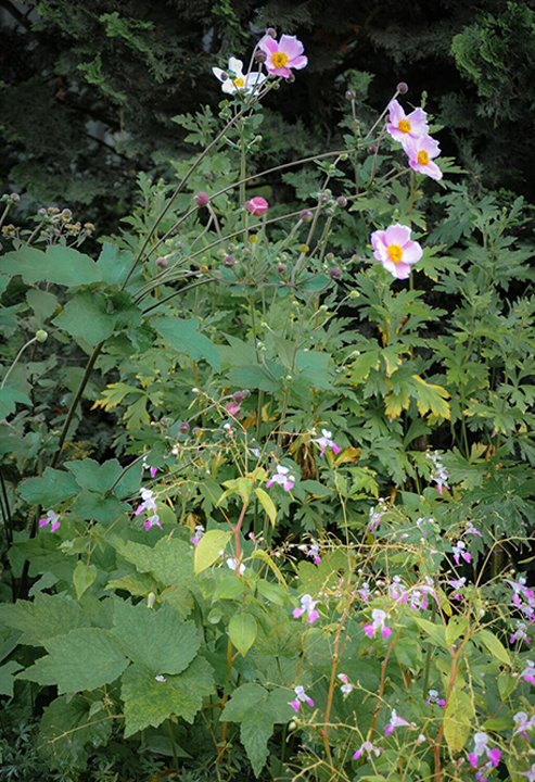 Japanese Anemone and Impatiens balfourii