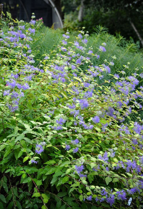 "A yellow-leafed selection of Bluebeard or Caryopteris x clandonensis ""Aurea"""