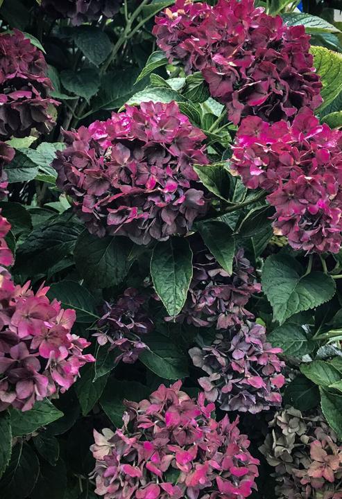late season spent flowers of Hydrangea macrophylla