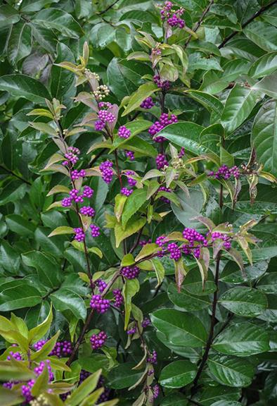 Beauty Berry (Callicarpa dichotoma)