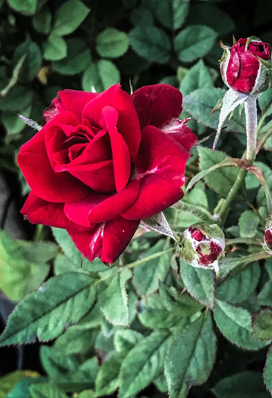 miniature Roses will continue flowering  well past first frost