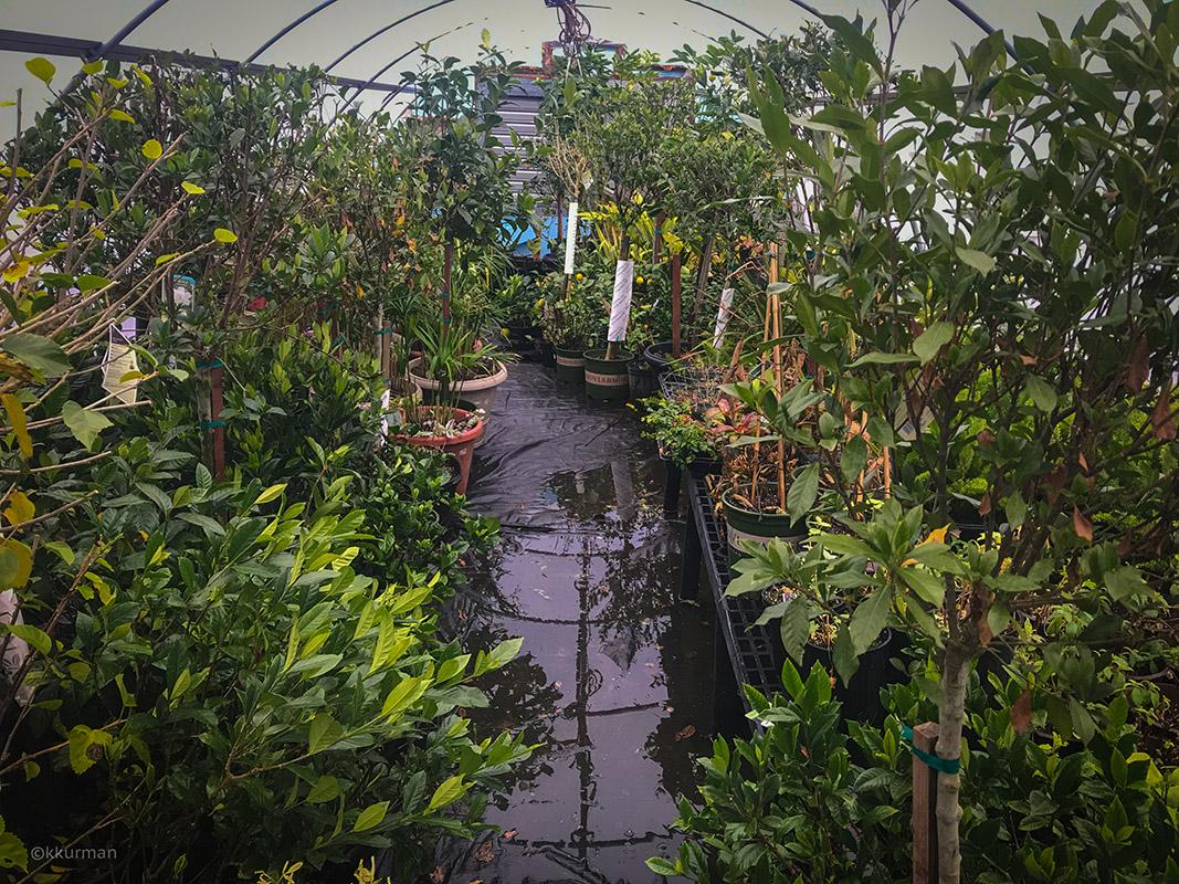 Vineyard Gardens - Overwintering House: Gardenias, Hibiscus, Citrus