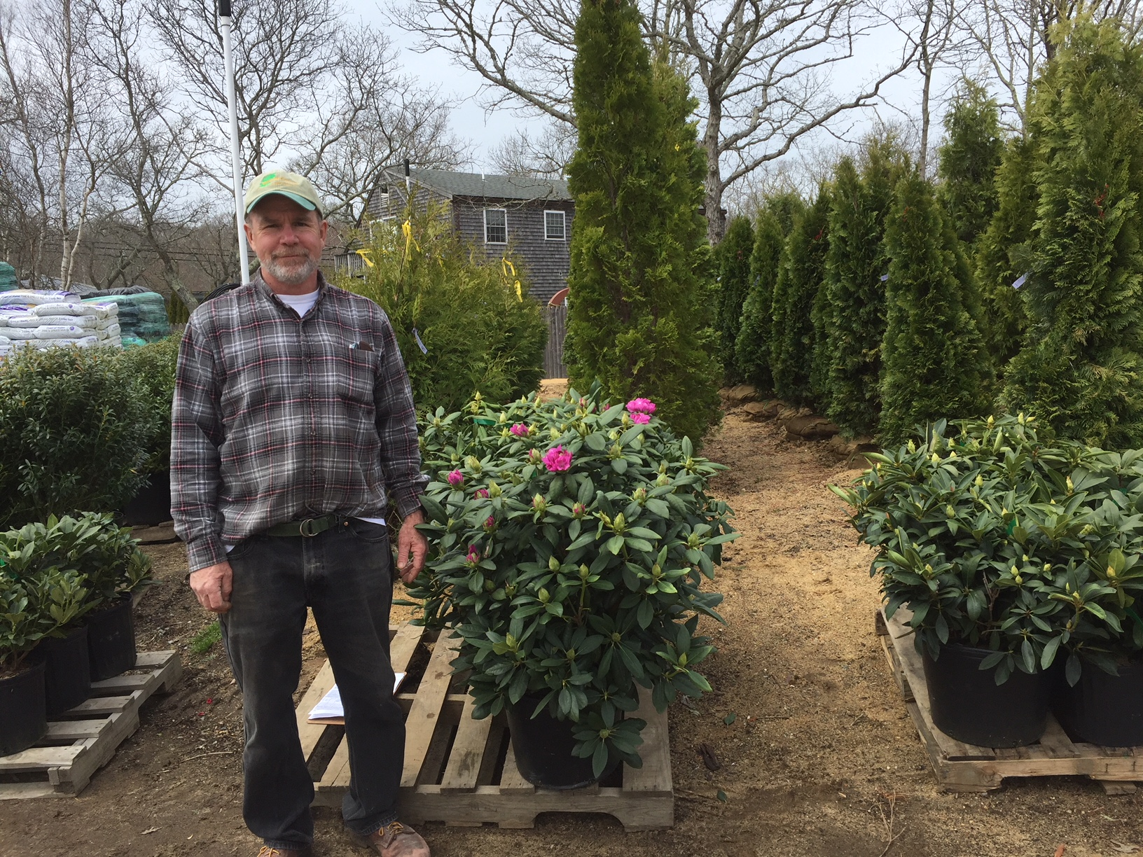 Rhododendrons and Leyland Cypress