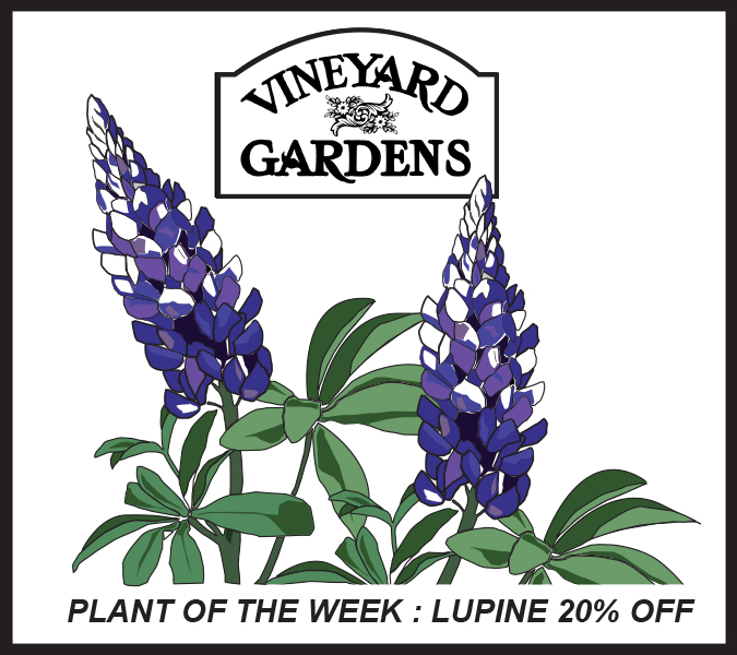 lupines_color.jpg