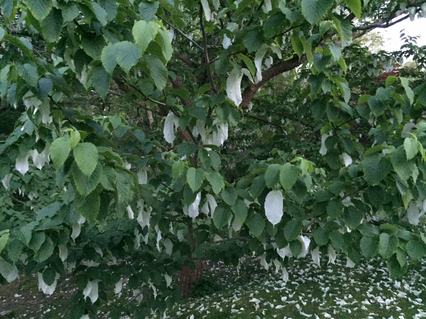 Dove Tree at Dr. Daniel Fisher House