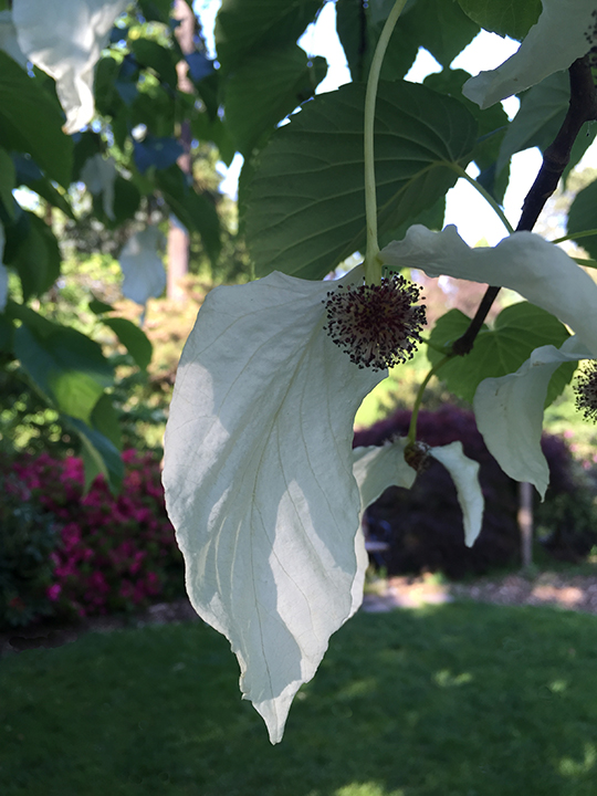 Dove Tree. photo credit:  Monrovia
