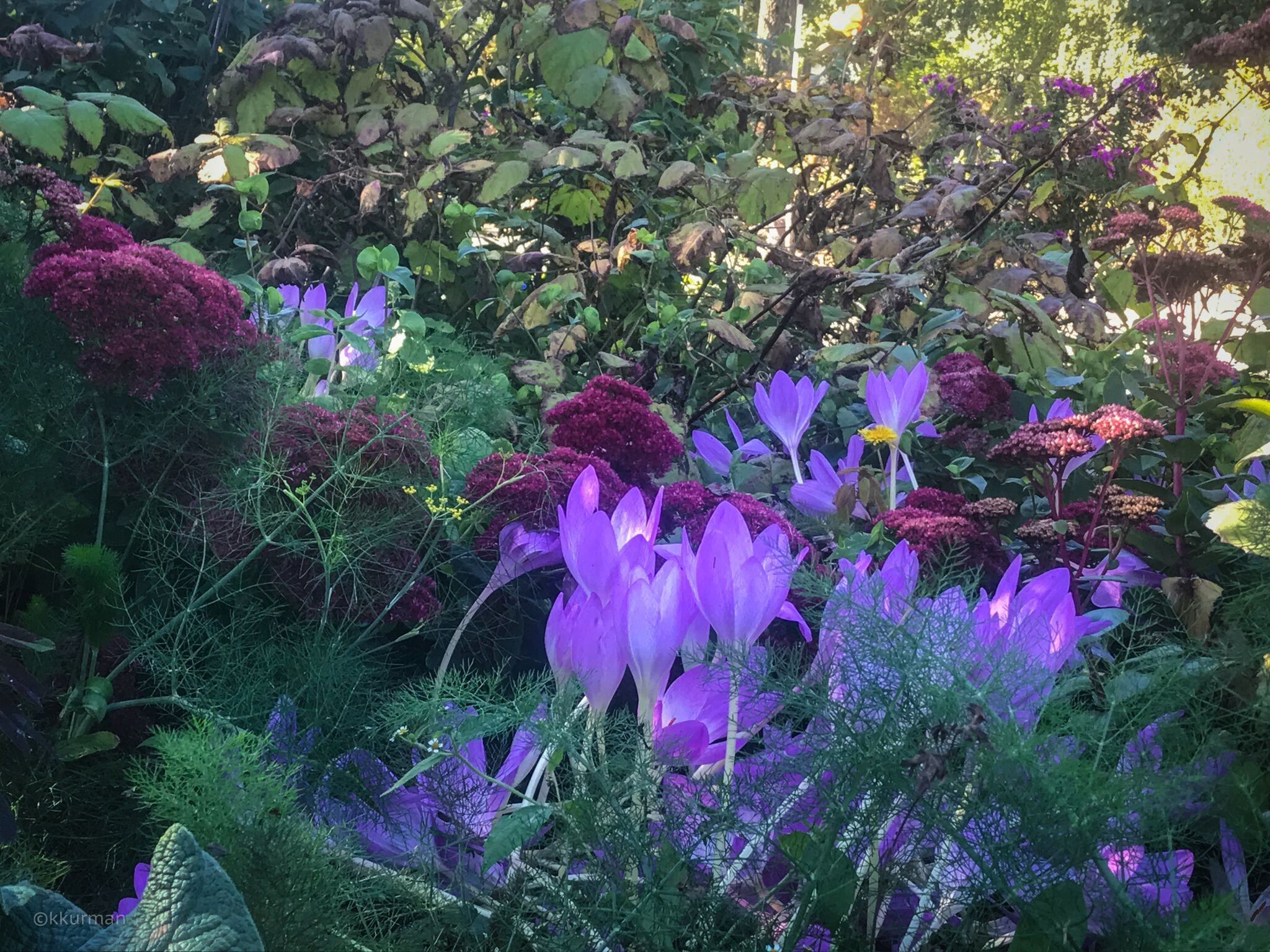 In the Display Gardens; Autumn Crocus, Sedum and ferny fennel