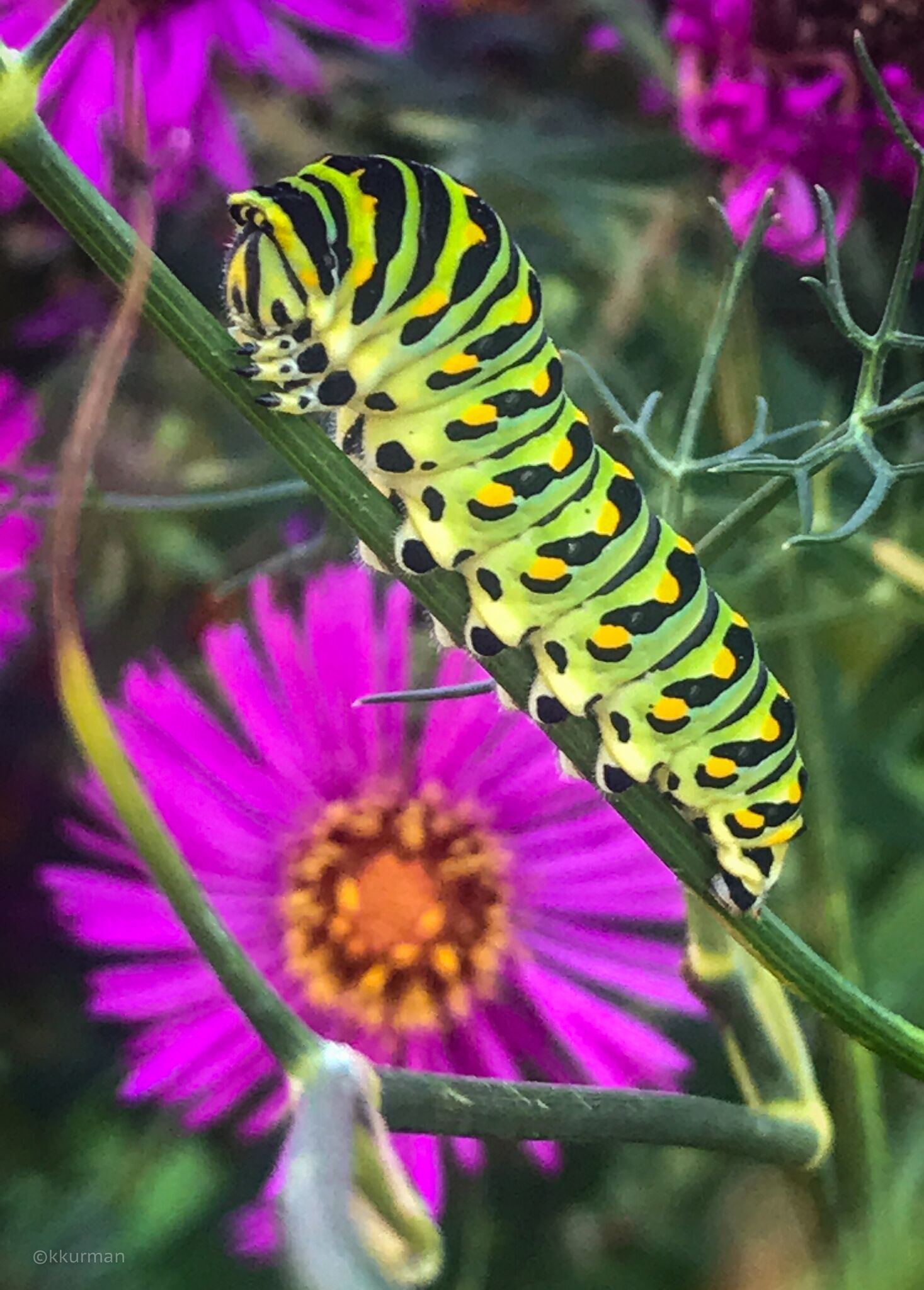 Monarch caterpillars like to eat the Fennel, we planted Butterfly plants, Aesclepias incarnata, nearby to attract them
