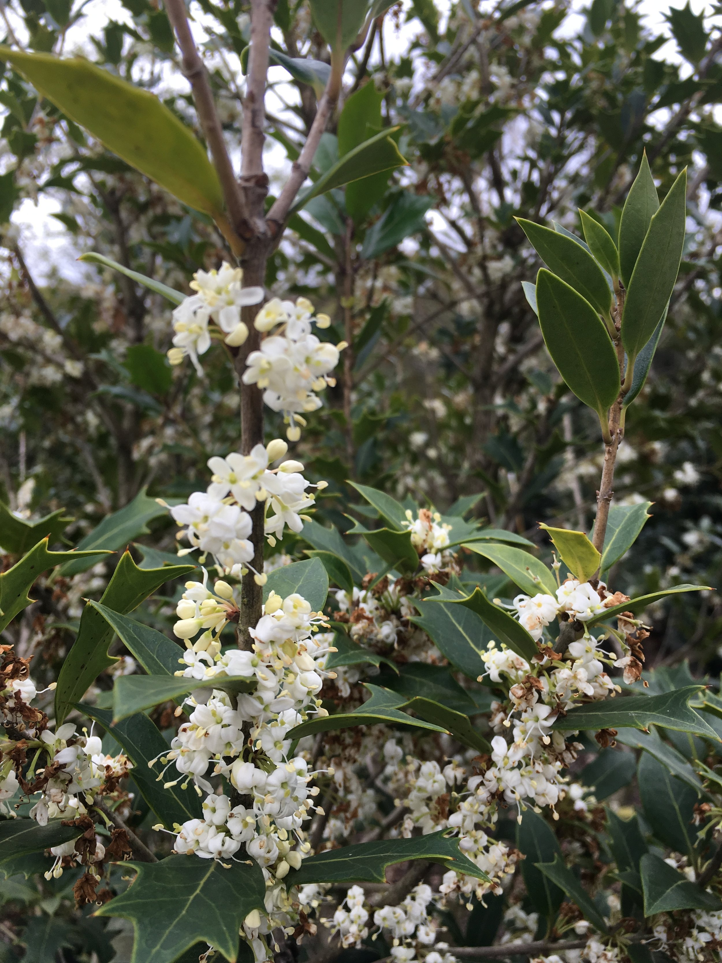 FLOWERS TO BE POLLINATED FOR BERRIES