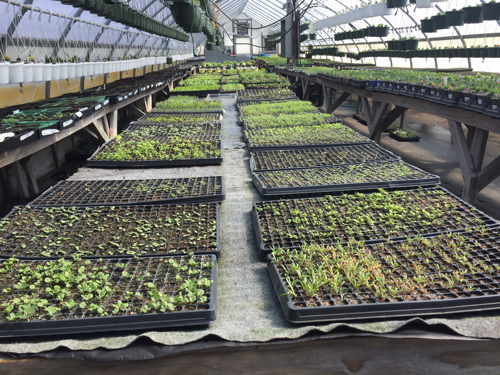 Seedling production using plug trays