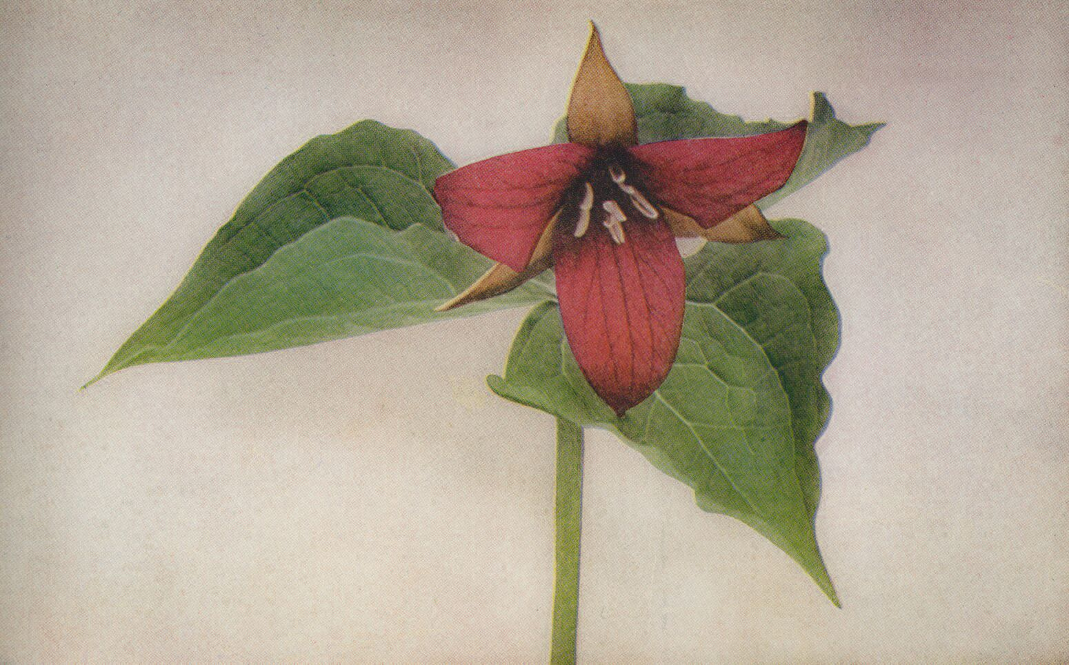 Trillium grandiflorum pink or red form / credit:  Wild Flowers  by Homer D. House 1935 Pub. The Macmillan Company