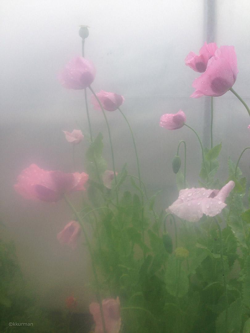 romantic poppies