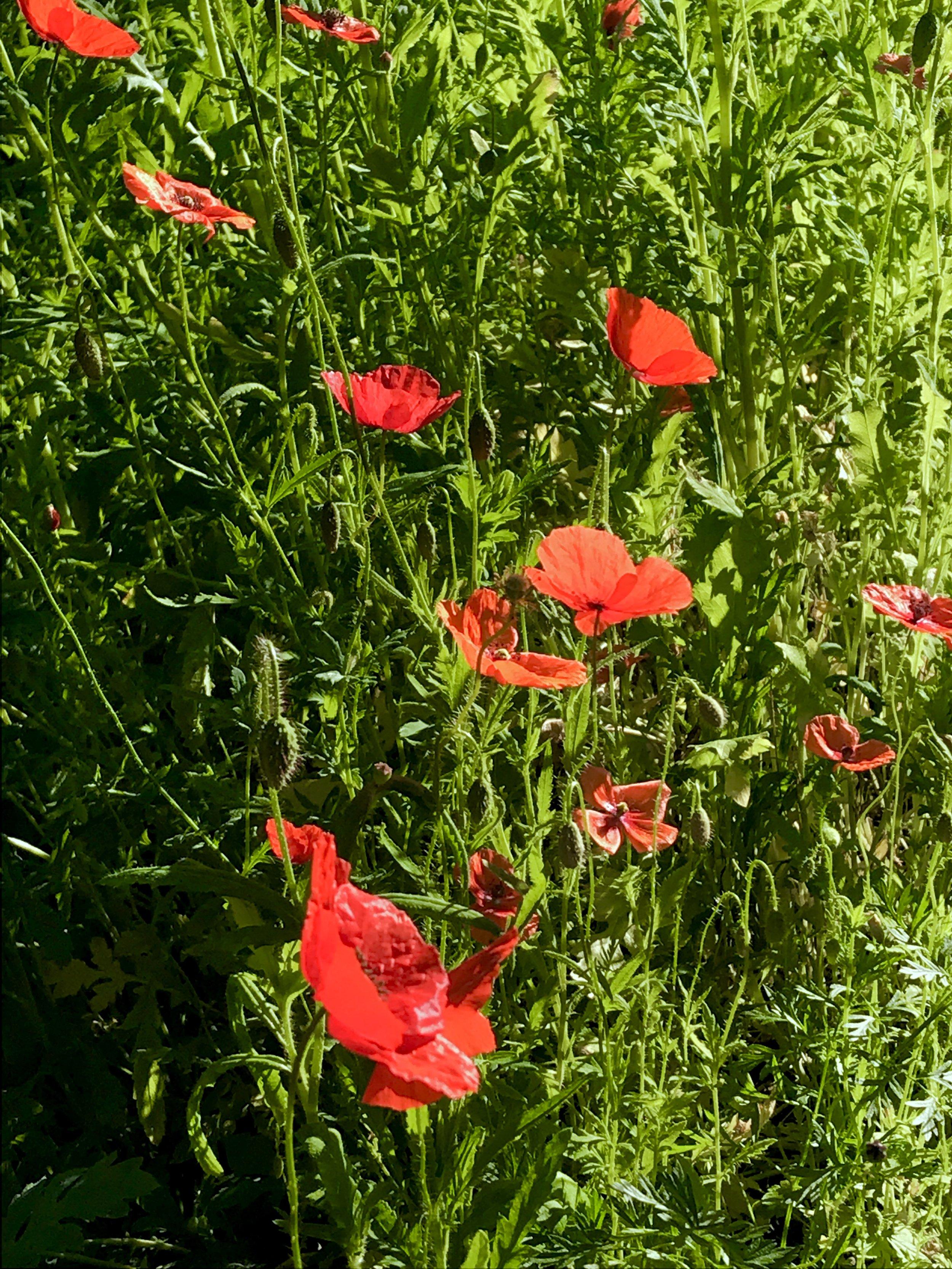Vineyard Gardens WWI Memorial poppy garden along State Road