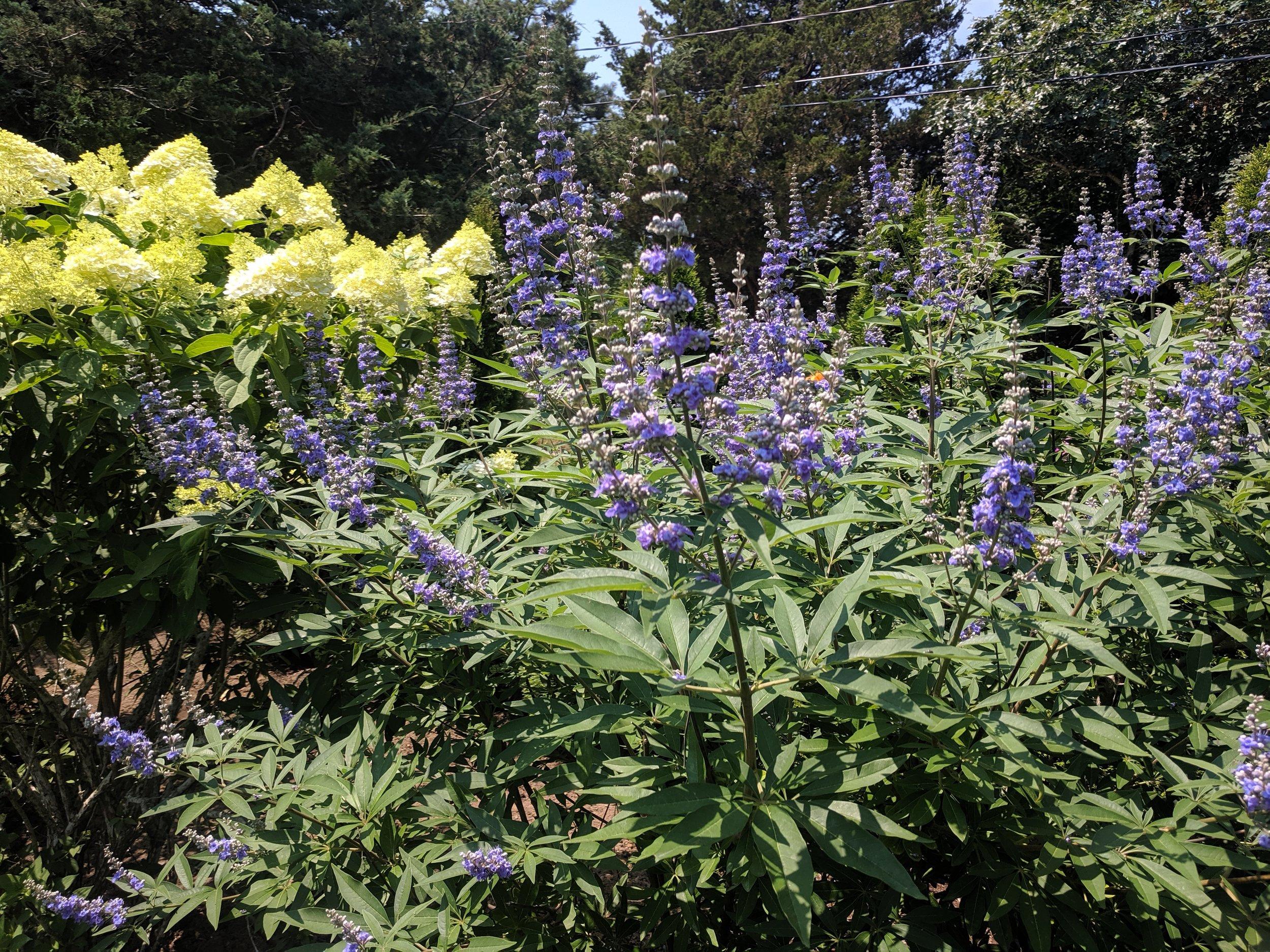 Vitex agnus-castus and Hydrangea paniculata grandiflora 'Limelight'