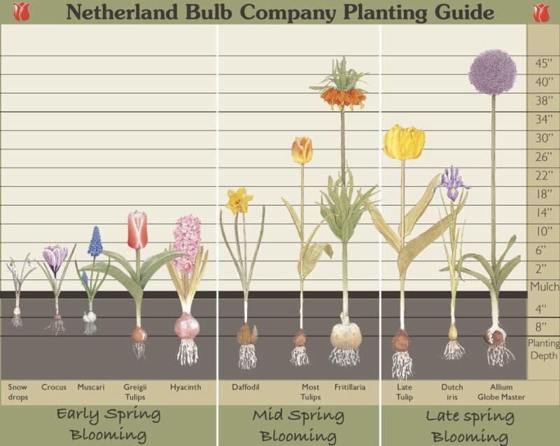 bulb depth chart.jpg