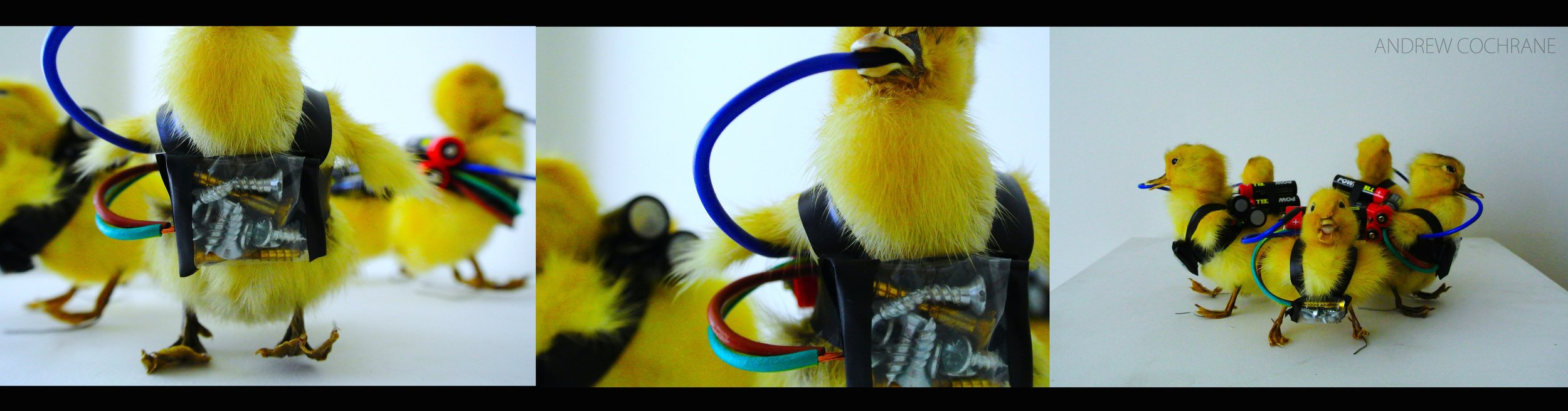 'Mankind FUCK OFF!'  (2013) Five Taxidermy Chicks