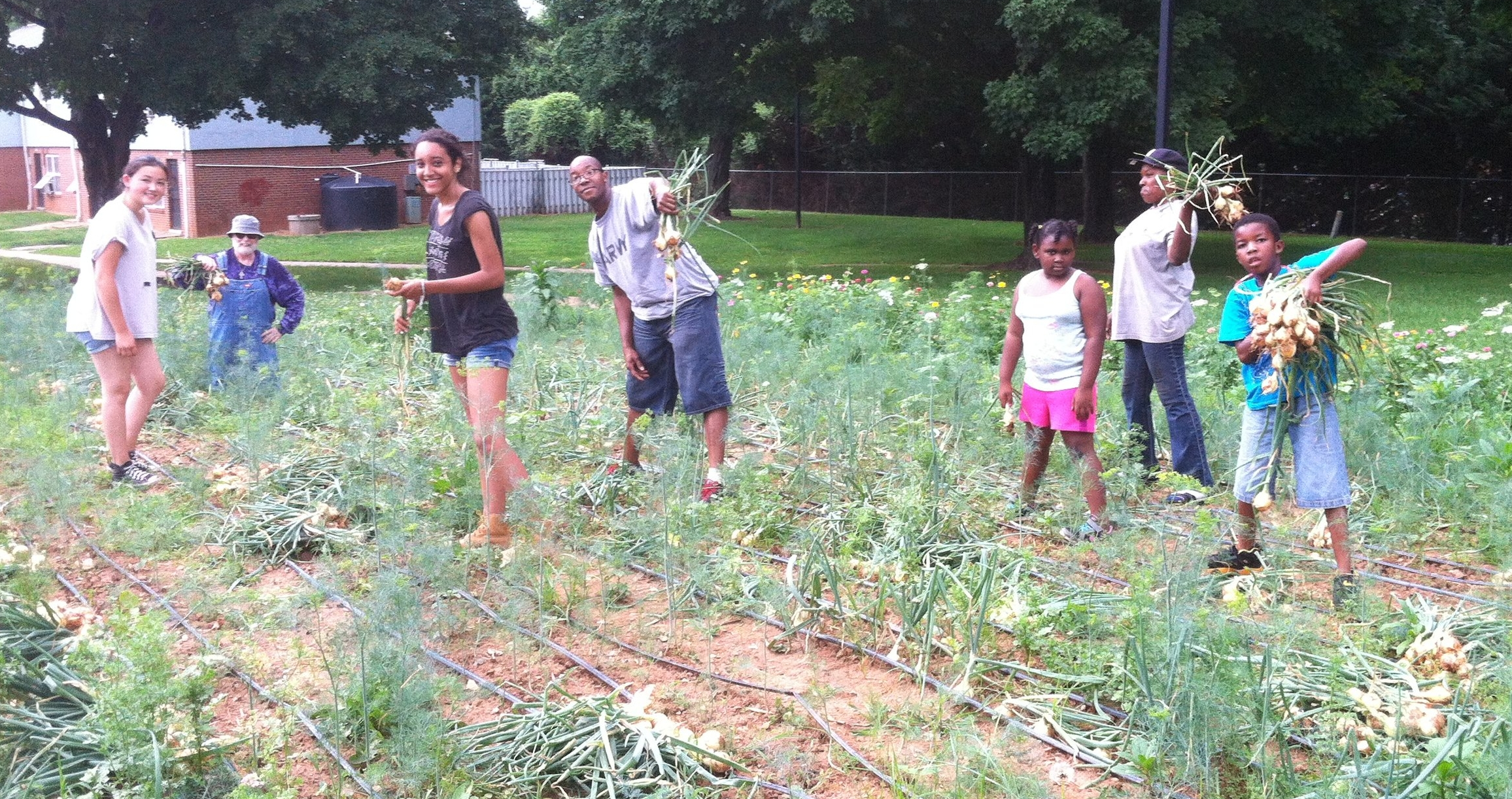 Volunteers harvest onions in the 6th Street garden - June 2015