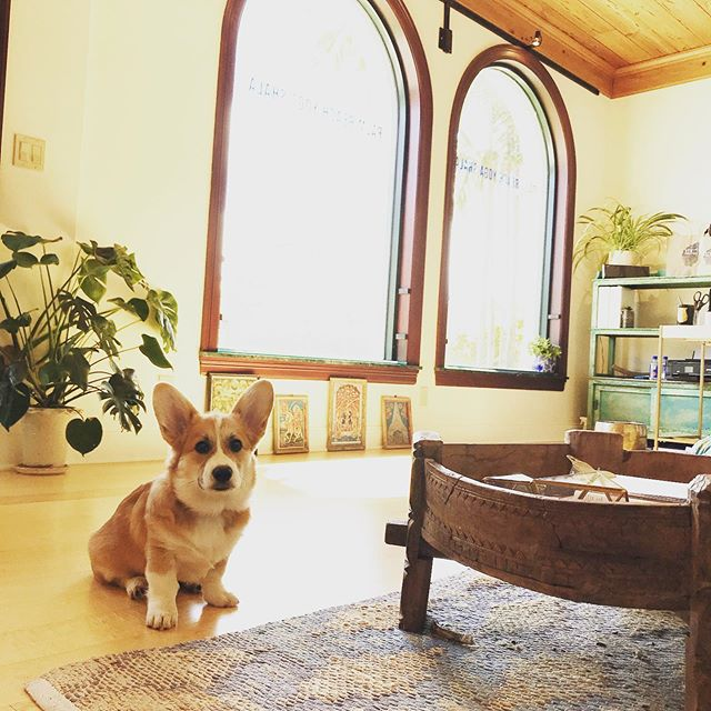Winston the WonderCorgi says to come visit him at Martin's class — Saturday @ 9:30! . . .  #ashtanga #ashtangayoga #ashtangalove #yoga #palmbeach #yogagram #yogapose #yogachallenge #yogainspiration #yogaeverydamnday  #yogalove #igyoga #vinyasayoga #practiceyoga #practiceyogaandalliscoming #vinyasa #vinyasayoga #iyengaryoga #iyengar  #lightonyoga #practiceyogachangeyourworld #practiceandalliscoming #palmbeach #palmbeachyoga #corgi #corgisofinstagram