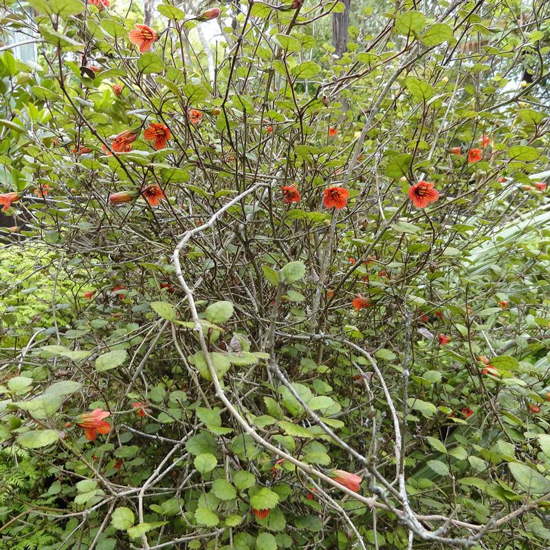 NZ-Gloxinia-shrub-(1).jpg