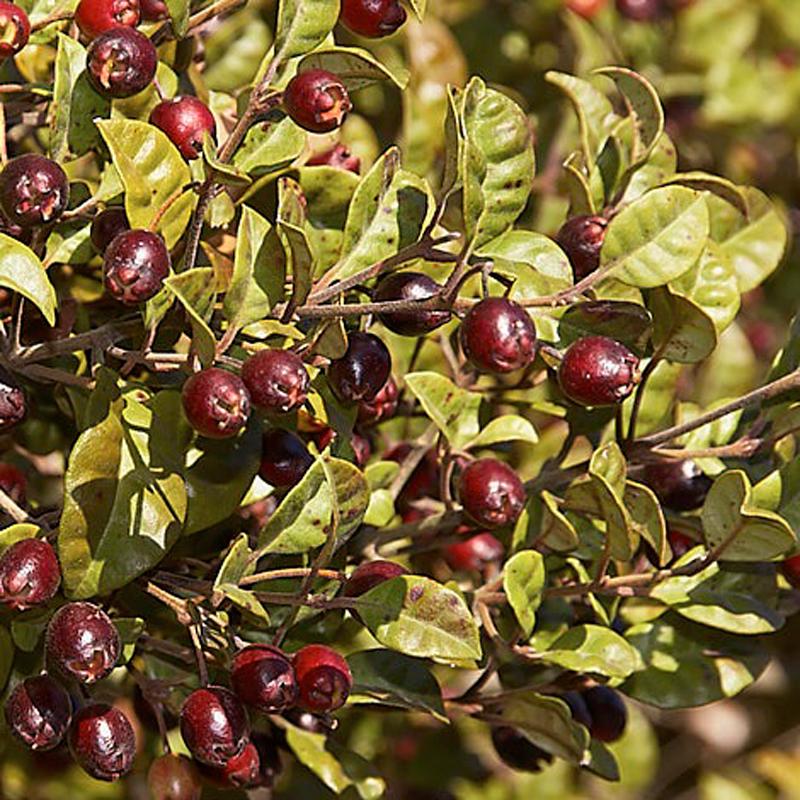 Ramarama-berries.jpg