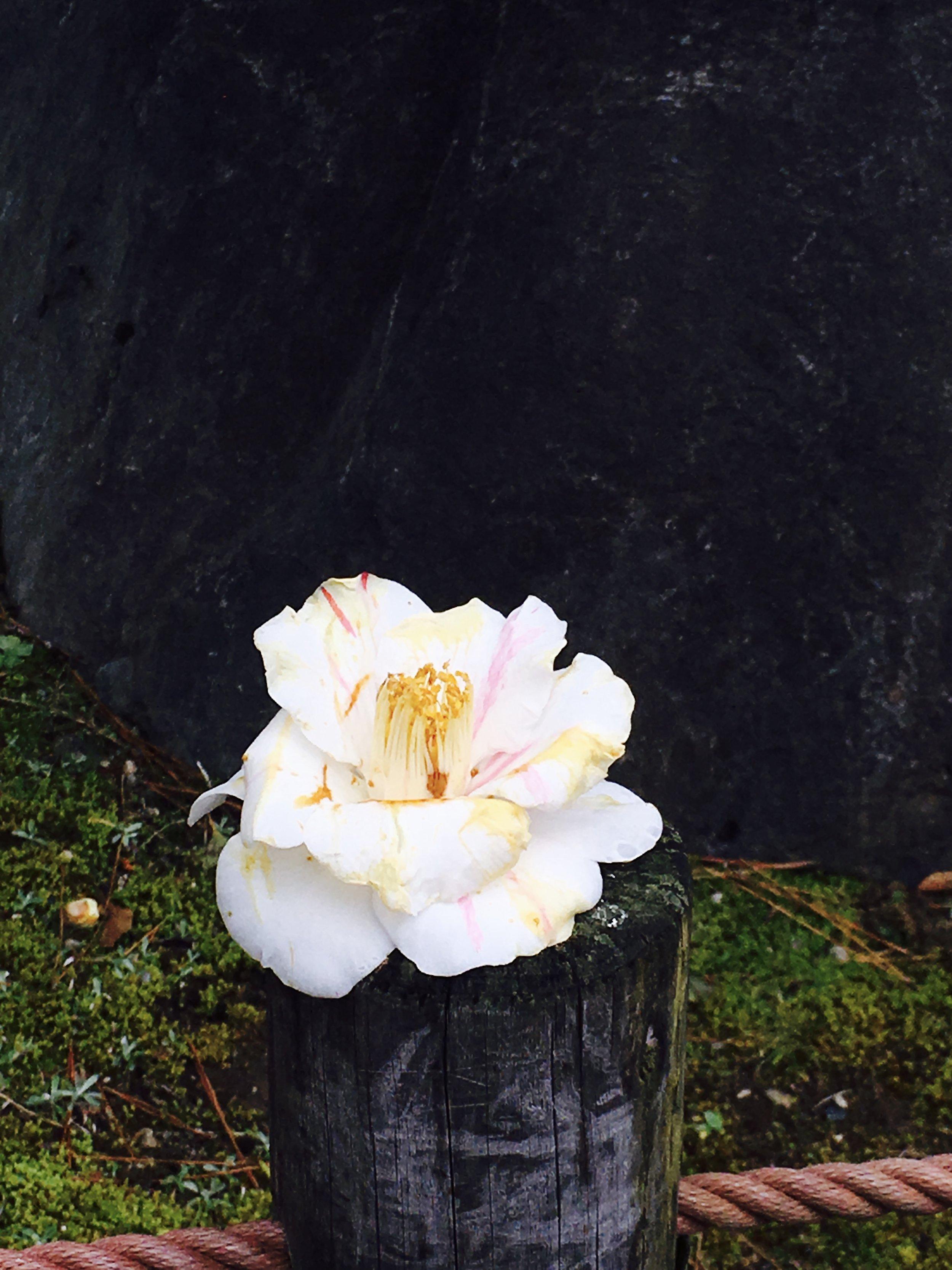 再沿路上看到一朵剛墜下來的花