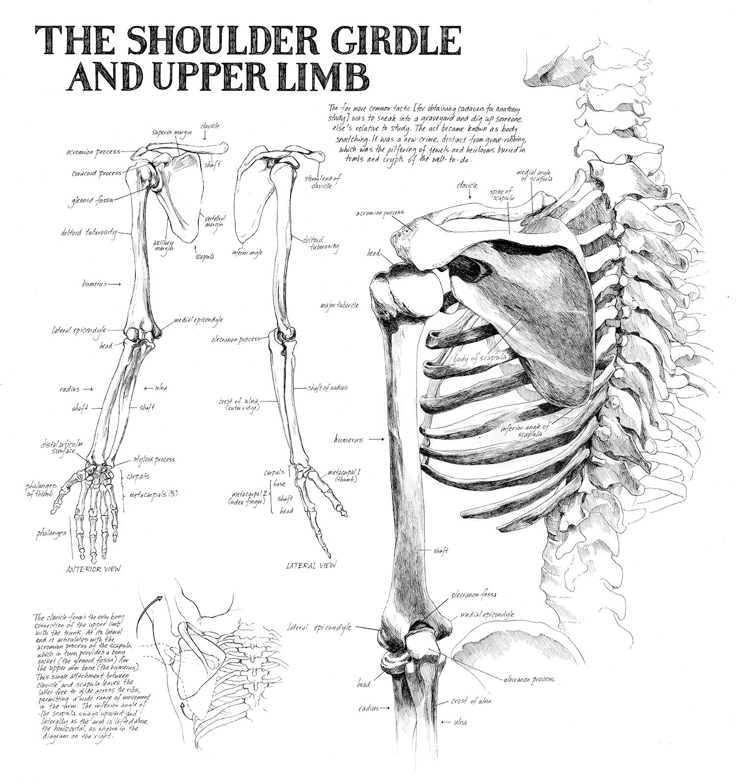 shoulder-girdle_gs_web.jpg