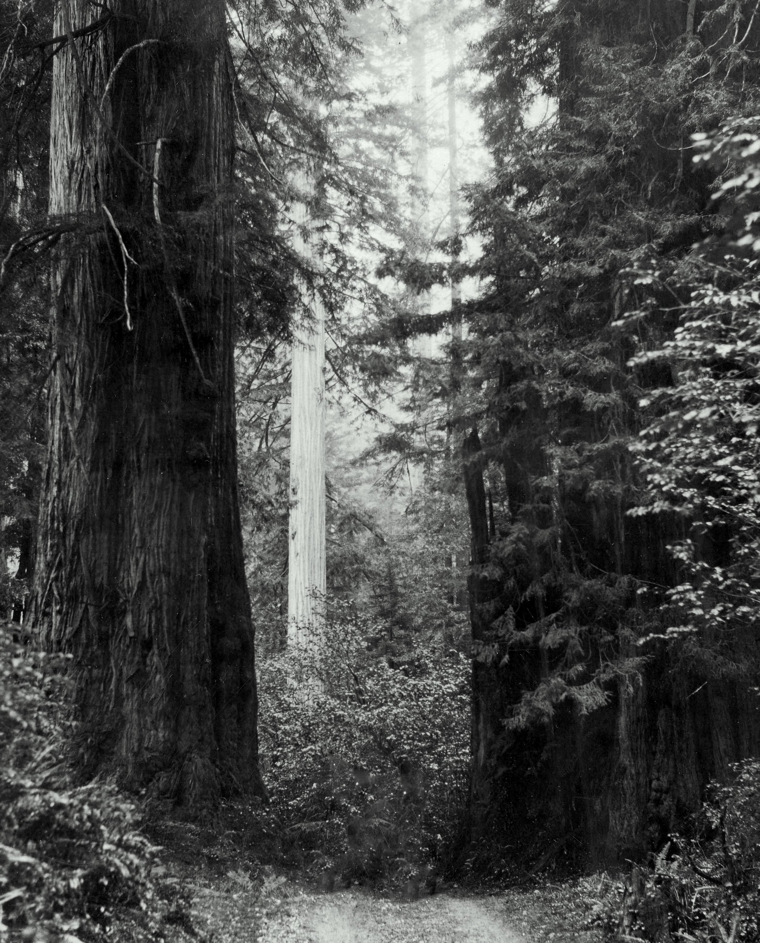redwoods historic vertical crop b.jpg