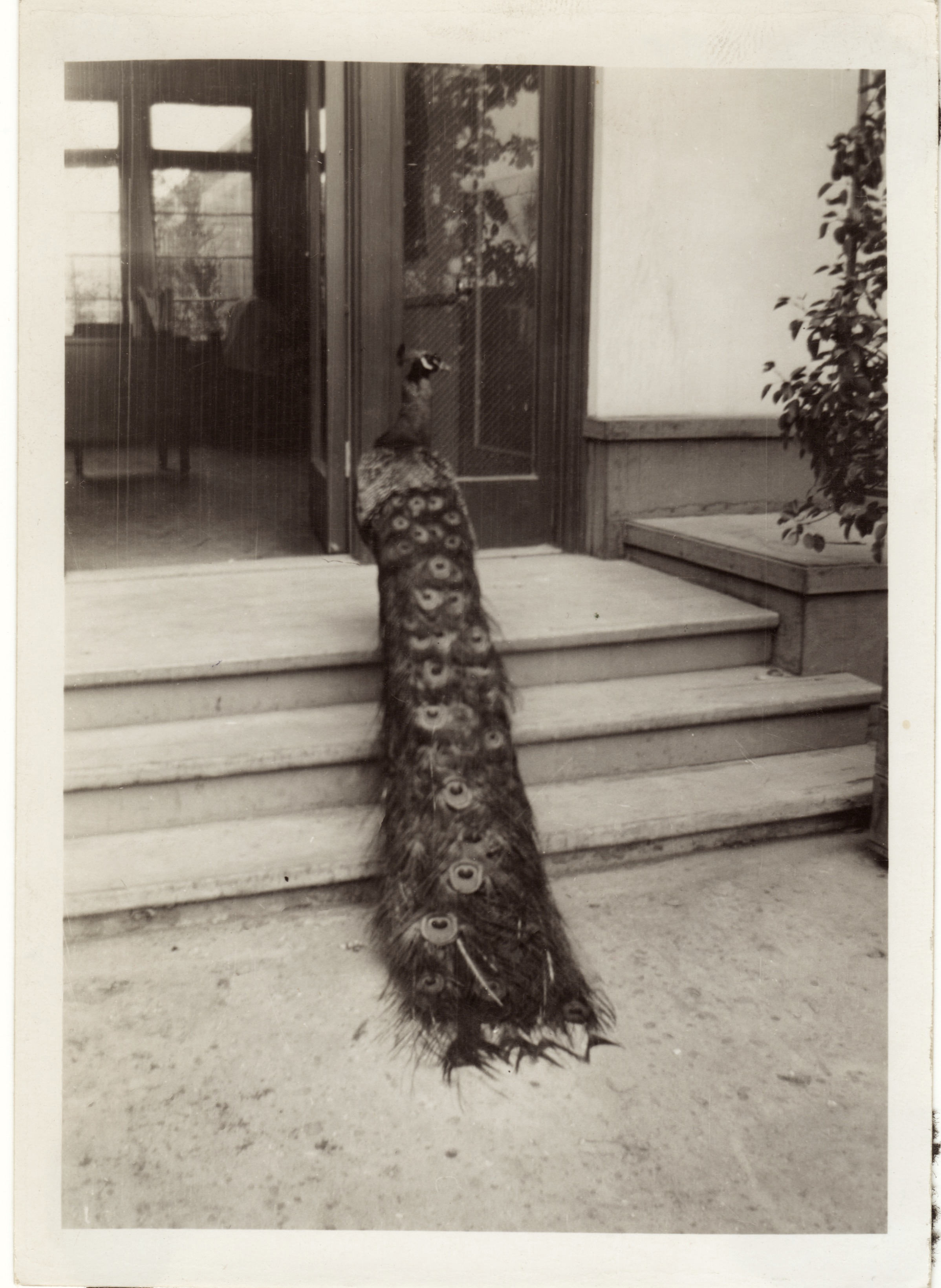 """Peacock near Hall of flowers"""