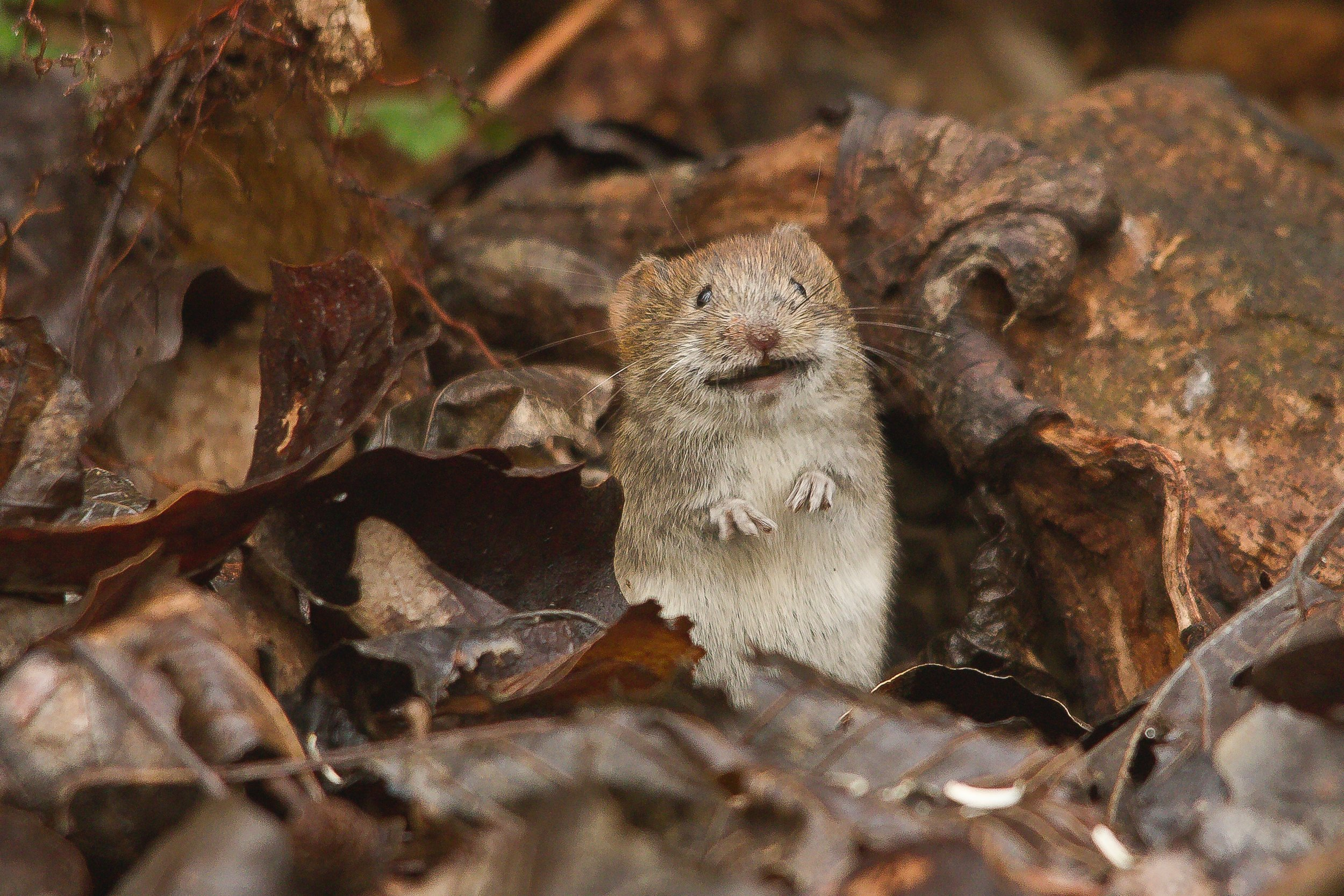 This little guy probably has hantavirus. Just check out that guilty face.