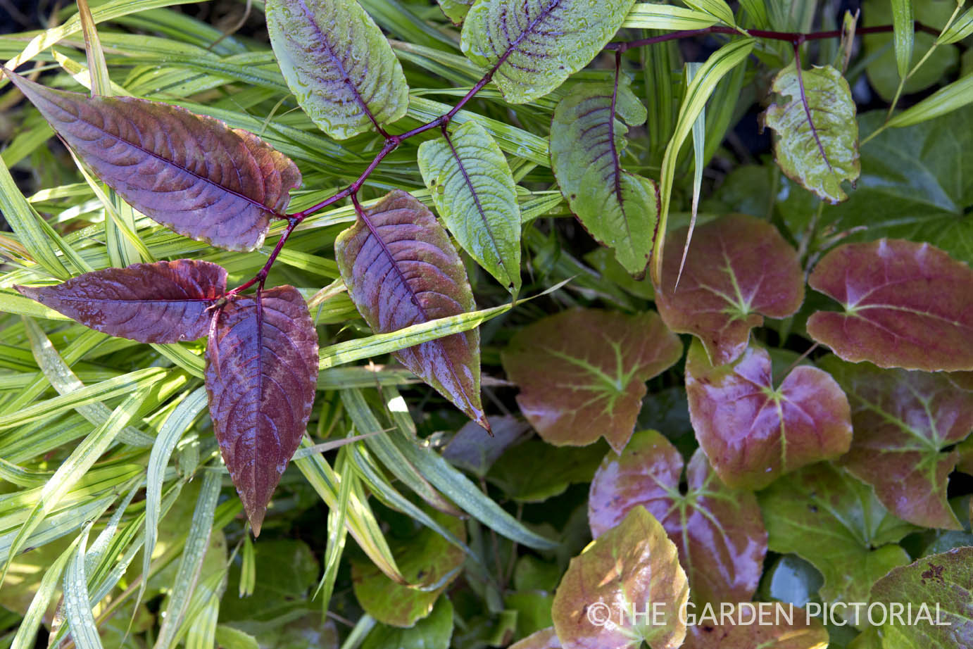 Persicaria 'Red Dragon' a3 .jpg