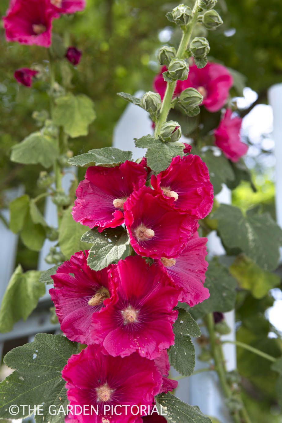 Hollyhocks a1  copy.jpg