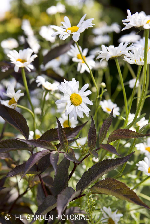 Oxeye daisy a3  copy.jpg