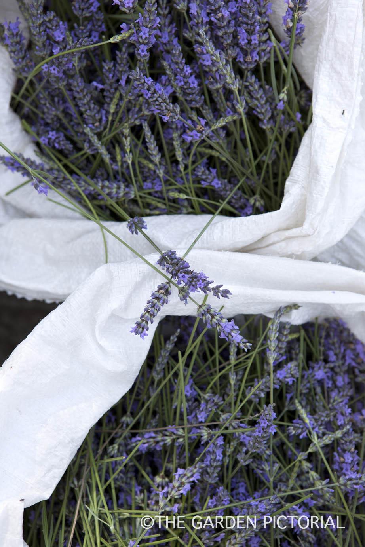 Lavender a8  copy.jpg
