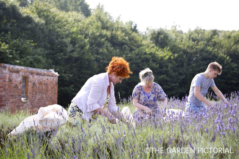 Lavender harvesting a4  copy.jpg