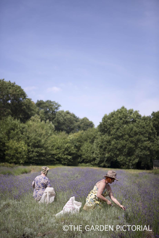 Lavender harvesting a9  copy.jpg