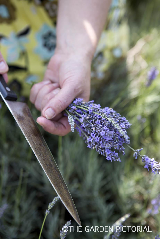 Lavender harvesting b11  copy.jpg