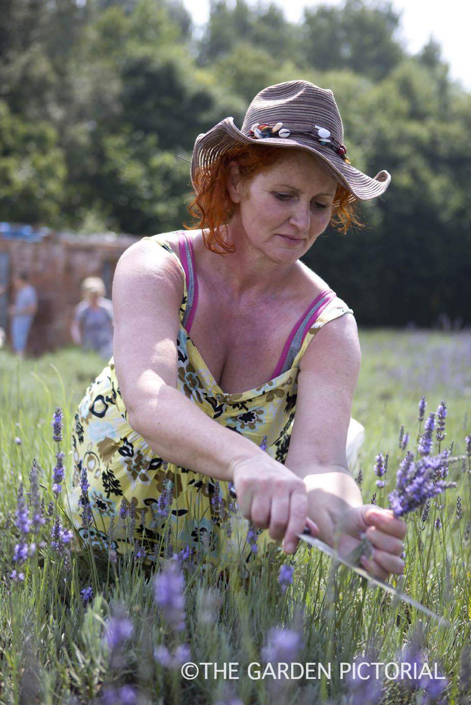 Lavender harvesting b13  copy.jpg