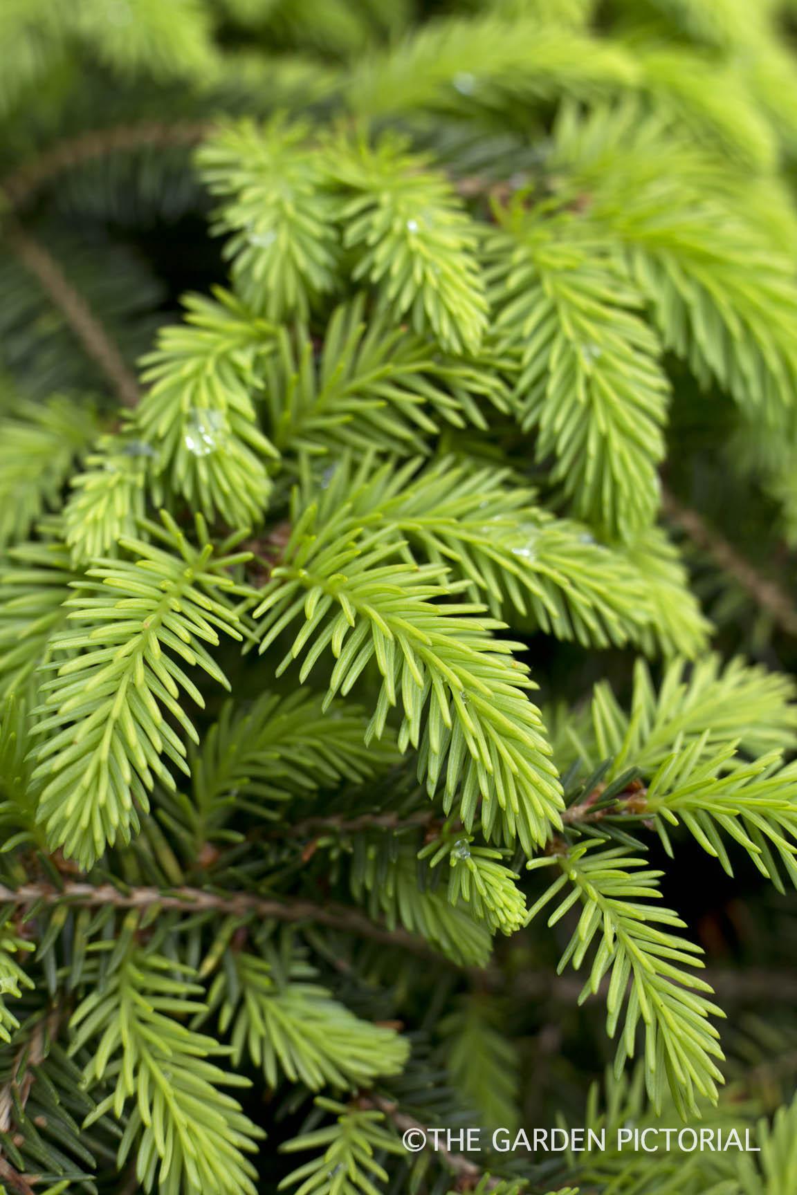 Bird's Nest Spruce a2  copy.jpg