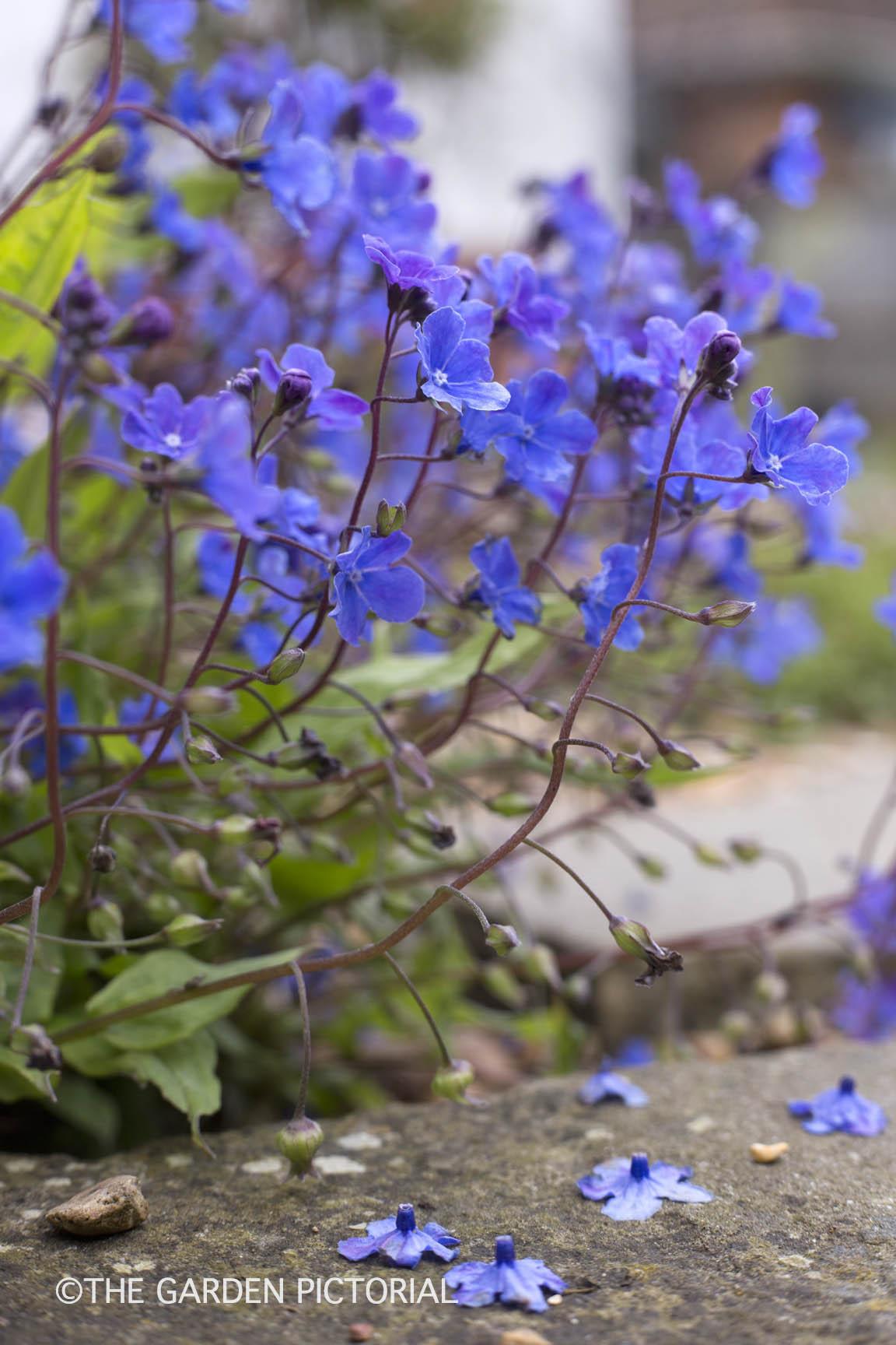 Omphalodes cappadocica a1  copy.jpg