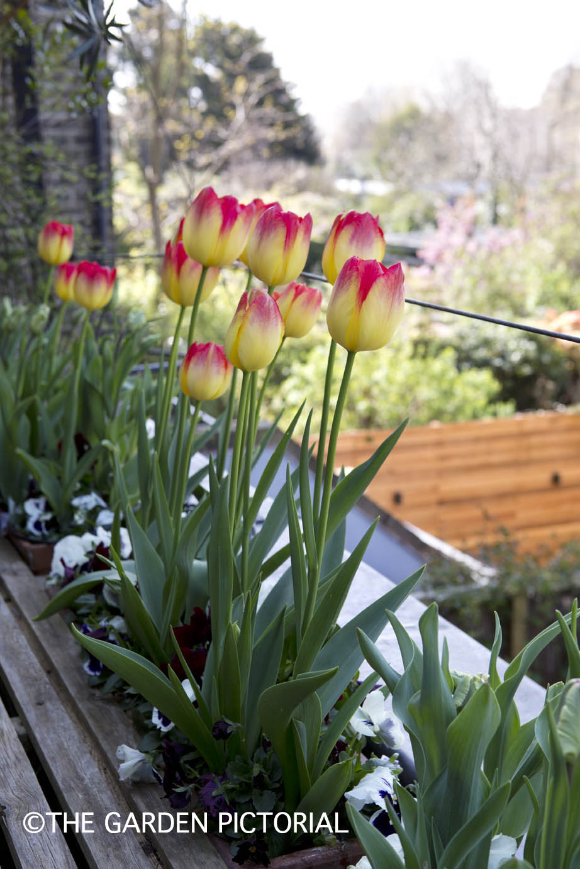 TulipPortrait b15 .jpg