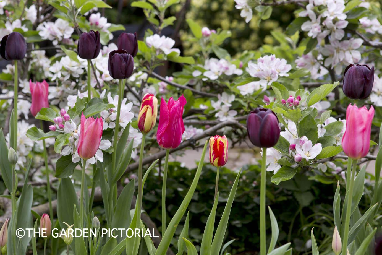 TulipPortrait c24 .jpg