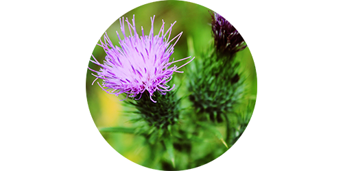 clean-slate_milk-thistle.png
