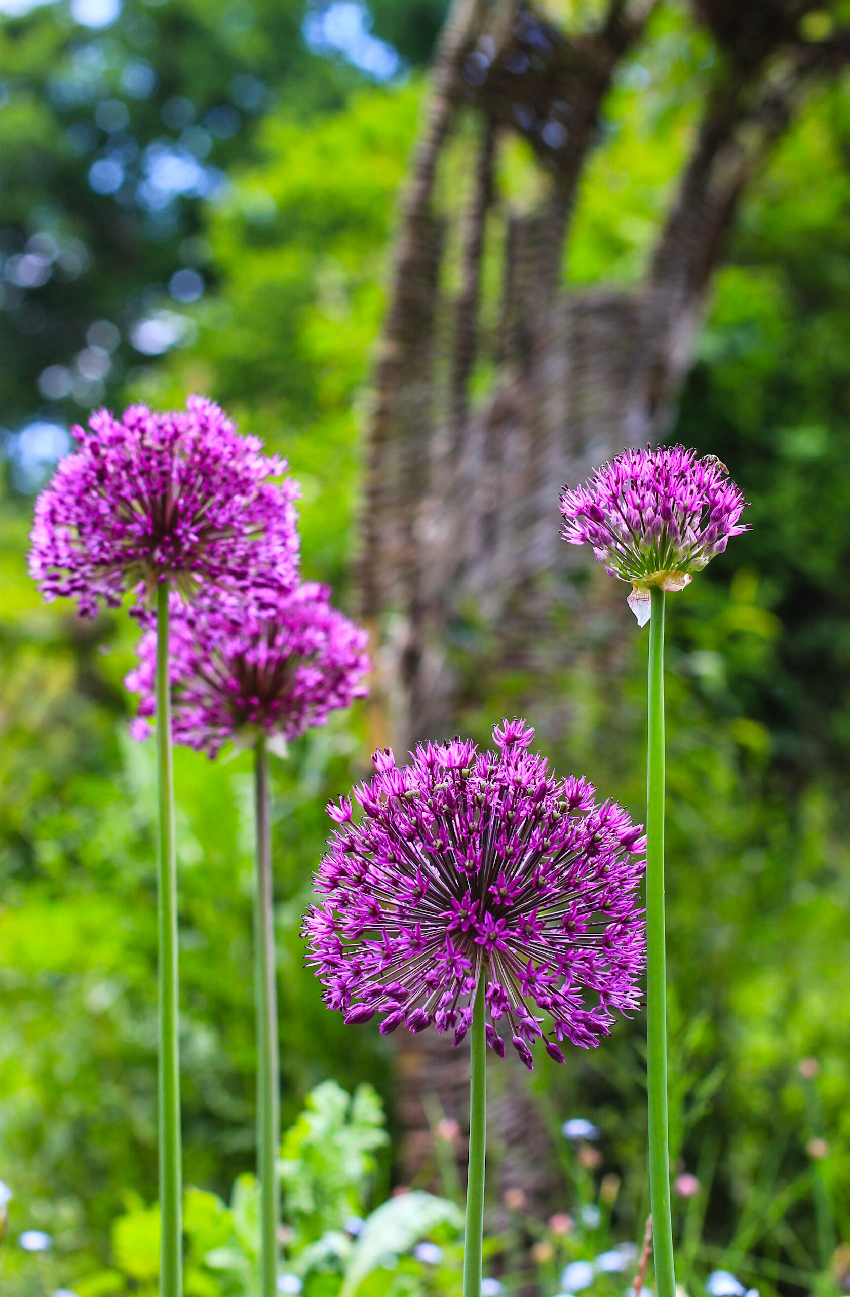 Stately Alliums stand to attention in amongst the vegetables.