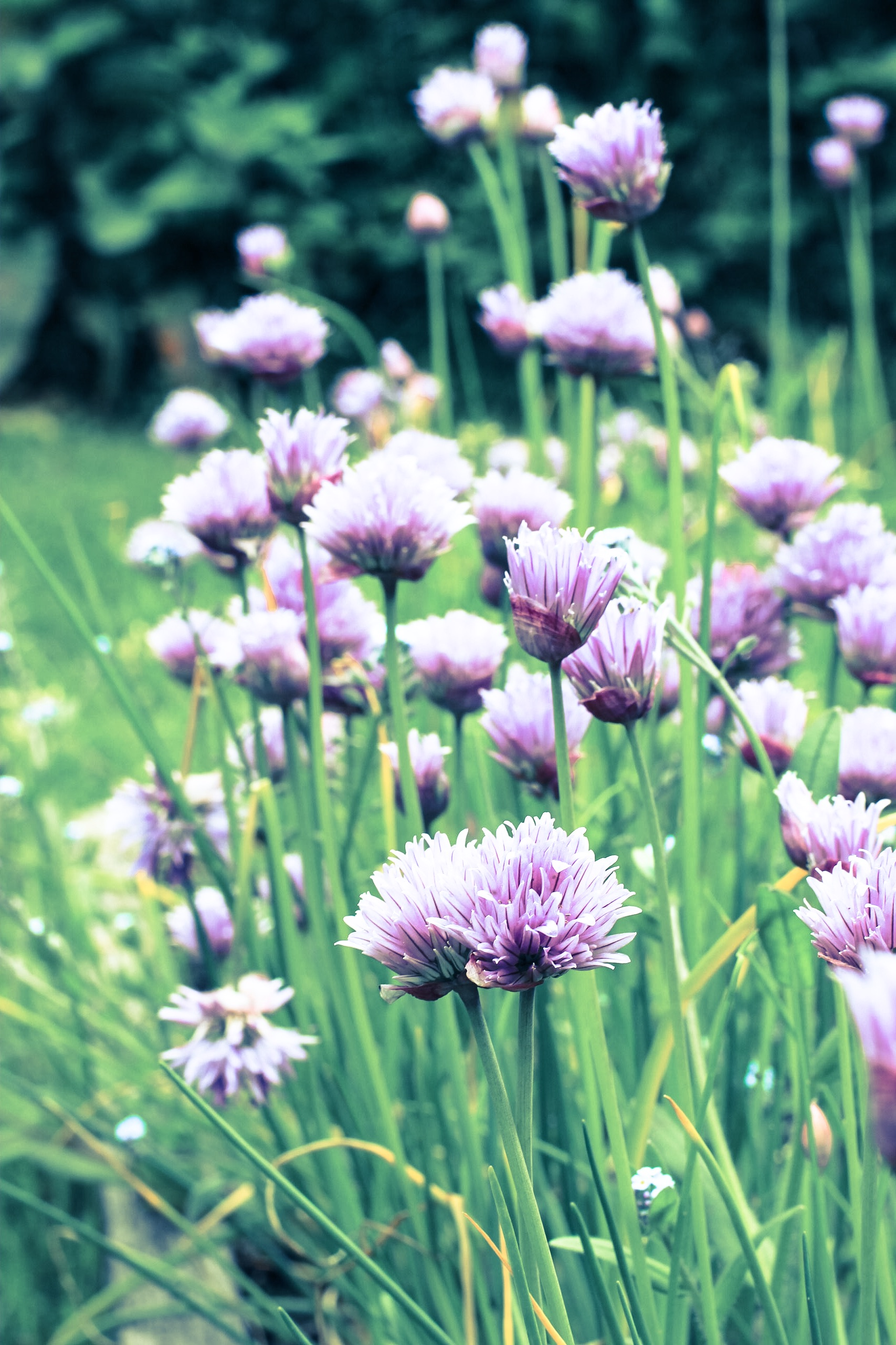 Chives in the Vegetable Garden, Minstead Study Centre.