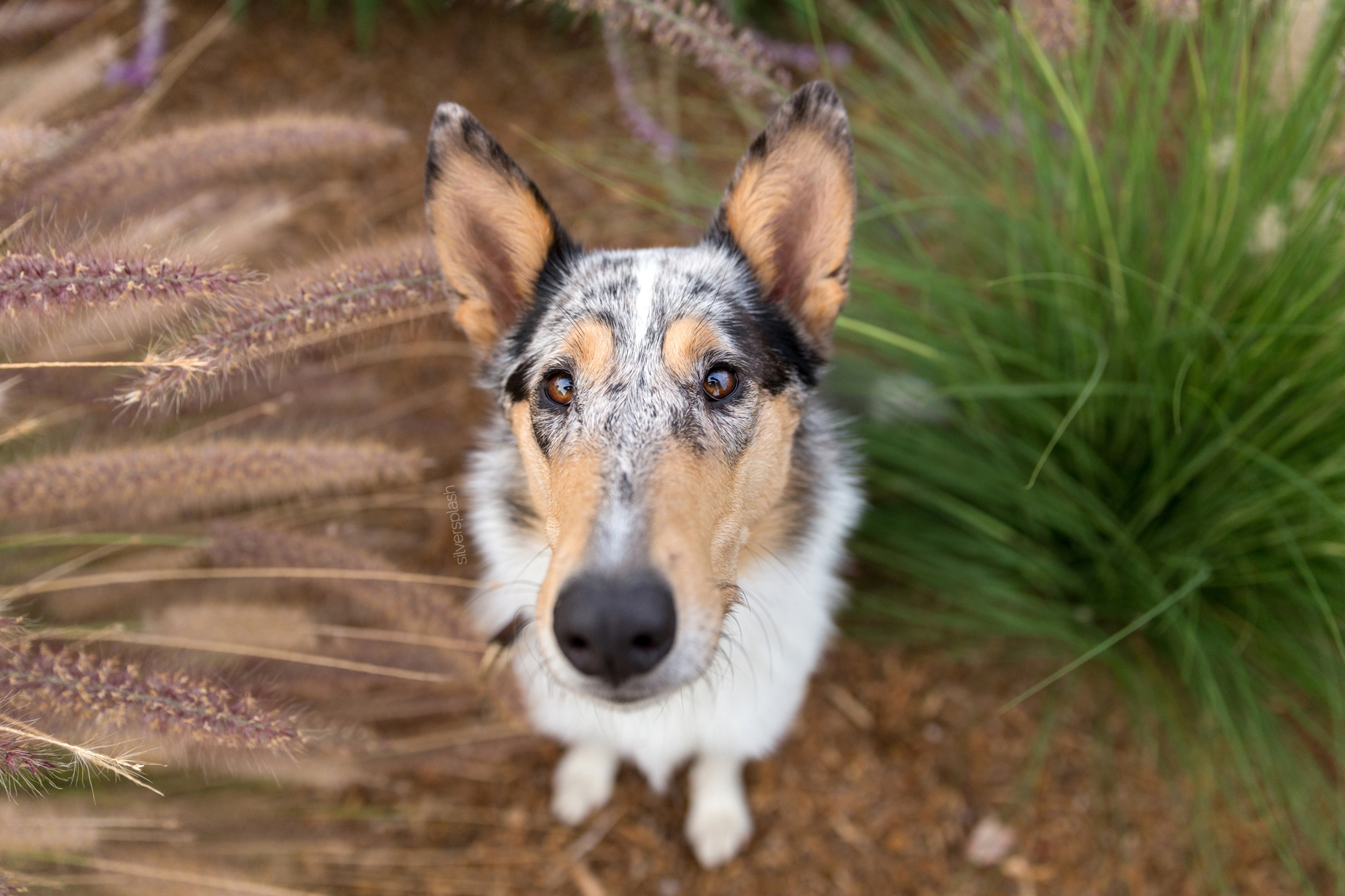 SilverSplashPhoto.com-dog-photographer-smooth-collie.jpg