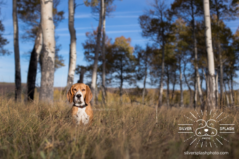 Cricket in an aspen grove taken shortly after sunrise, both beagles were crazy scenting deer and it was a struggle to get their attention! What you can's see is the I ended up securing them to a tie down and removing the leashes & tie down in post processing, photography magic!